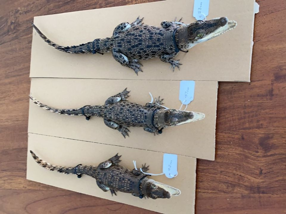 Taxidermied Crocodiles