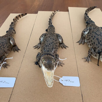 Taxidermied Australian Crocodile
